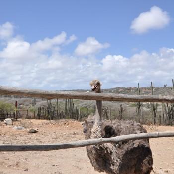 Ostrich Farm 8 | Arubiana