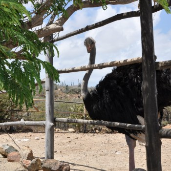 Ostrich Farm 9 | Arubiana