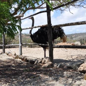 Ostrich Farm 10 | Arubiana
