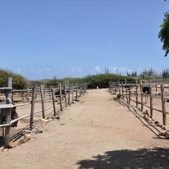 Ostrich Farm 11 | Arubiana