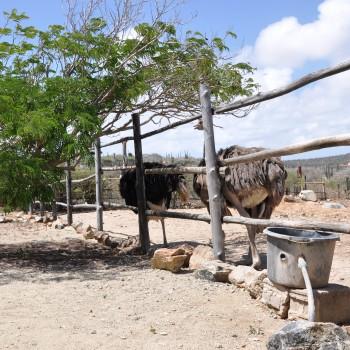 Ostrich Farm 12 | Arubiana