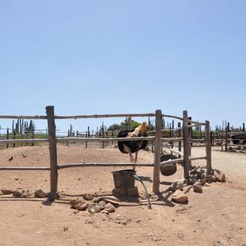 Ostrich Farm 13 | Arubiana