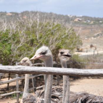 Ostrich Farm 15 | Arubiana
