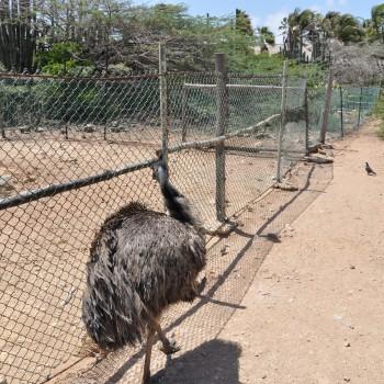 Ostrich Farm 18 | Arubiana