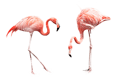 Pink flamingo Aruba